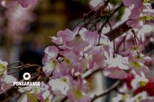 Cherry Blossom Season (Watermarked)