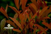 Jap Leaves in the rain (Watermarked)