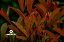 Jap Leaves in the rain (Watermarked)