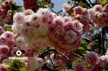 Japan - Flower Closeup 2 (Watermarked)