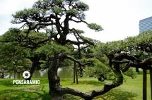 Japan - Tree (Watermarked)